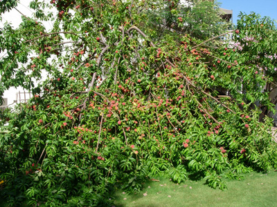 our overloaded peach tree!