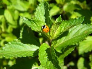 mintyladybug