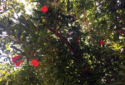 pom blossoms