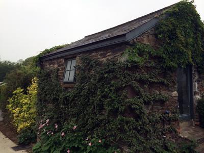 Ballymaloe ivy covered
